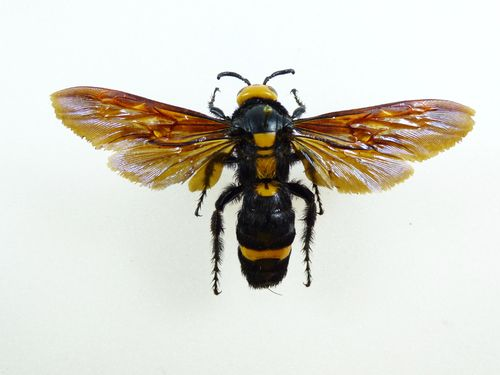 Xylocopa sp. #1