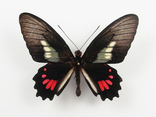 Parides phosphorus ssp. phosphorus male