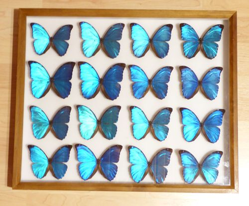 "collection box ""Blue Morpho"" #1"