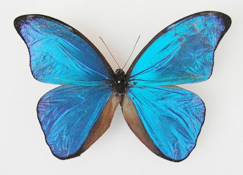 Morpho menelaus menelaus SUPERABERRATION male