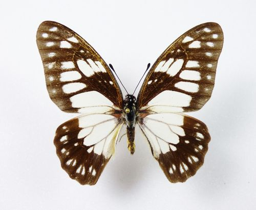 Graphium philonoe male