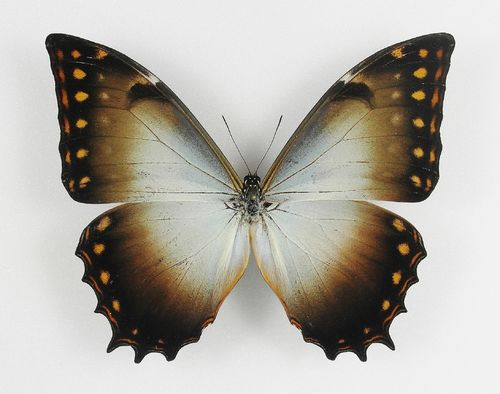 Morpho theseus ssp. aquarius male