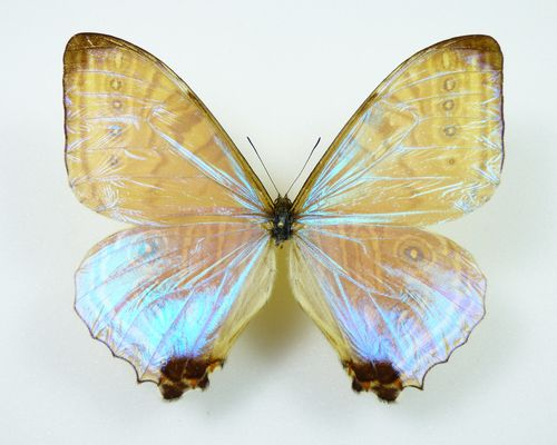 Morpho lympharis ssp. eros male