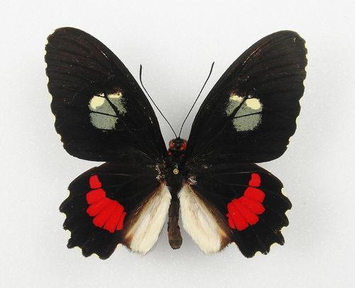 Parides iphidamas male