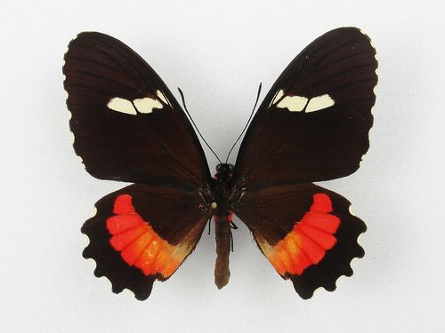 Parides iphidamas female