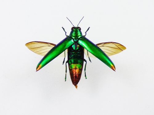 Chrysochroa fulminans male FLYING