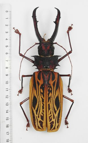 Macrodontia cervicornis male MONSTER XXL 166mm