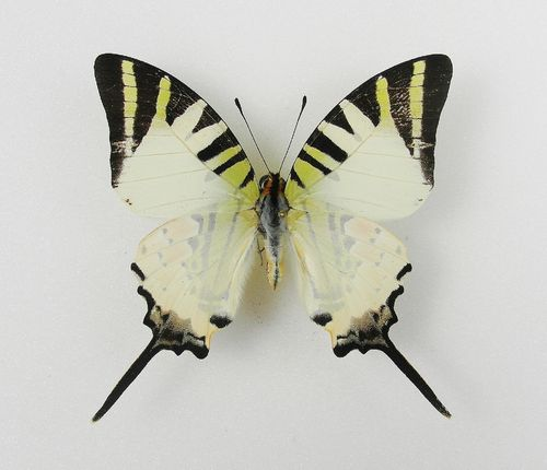 Graphium antiphates male