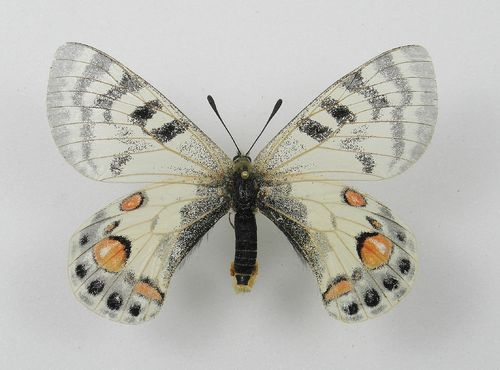 Parnassius charltonius ssp. varvara female