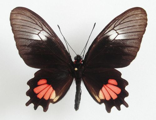 Parides vercingetorix female