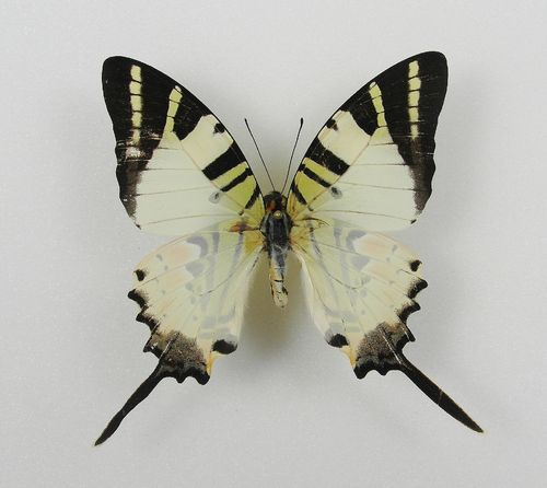 Graphium antiphates aberration male