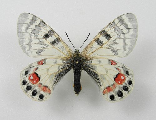 Parnassius charltonius ssp. romanovi female