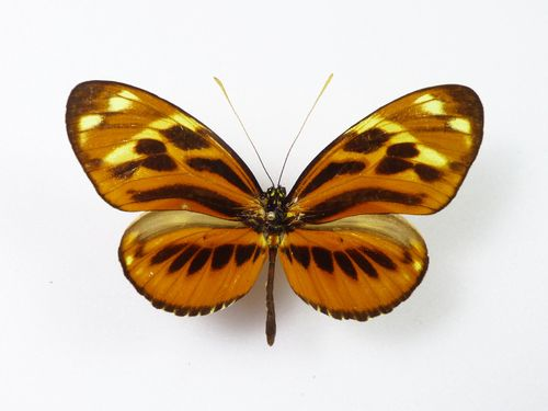 Heliconius hecale ssp. versicolor male