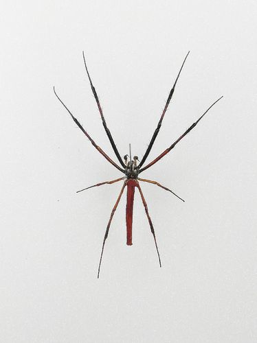 Nephila philipes male