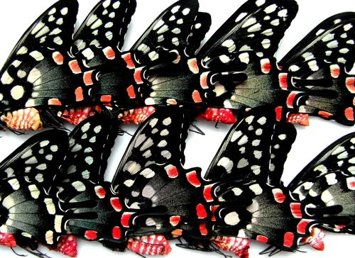 Papilio antenor 10 x UP