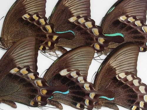 Papilio blumei 10 x UP