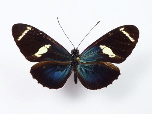 Heliconius sara sprucei male