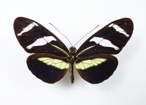 Heliconius antiochus salvinii female