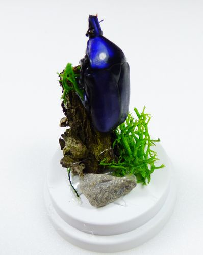 "Diorama ""Cetonidae  sp. blue"" in white acrylic-dome"