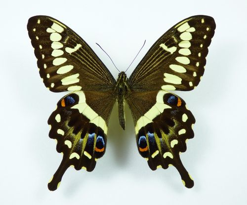Papilio ophedicephalus ssp. transvaalensis male