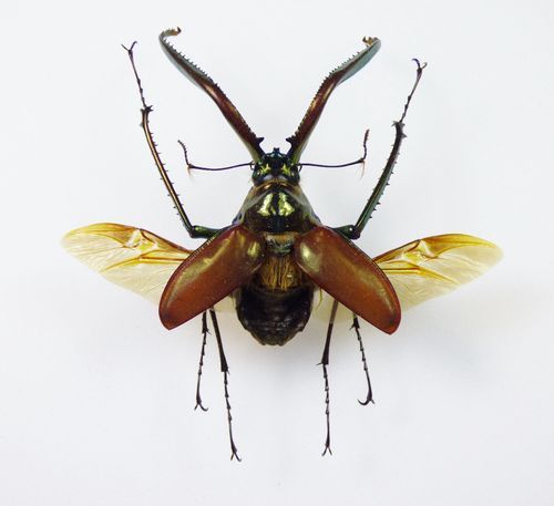 Chaisognathus granti male FLYING