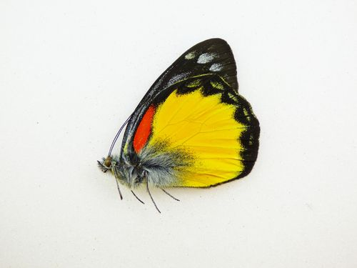 Delias oraia ssp. bratana male UP