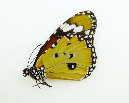 Danaus chrysippus UP