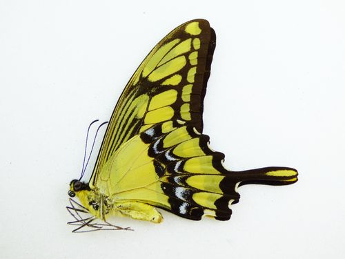 Papilio thoas male UP