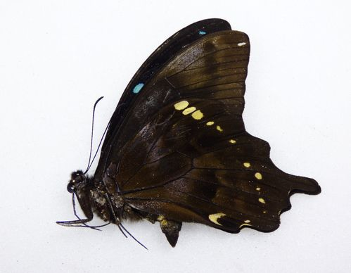 Papilio epiphorbas male UP