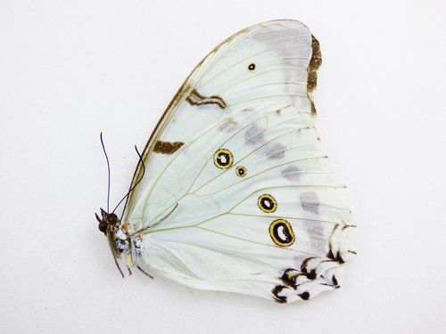 Morpho luna male UP
