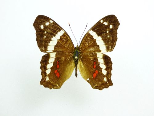 Anartia fatima male