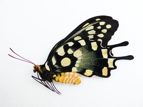 Papilio antenor female UP