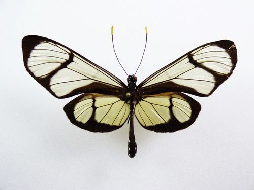 Thyridia psidii Aberration male